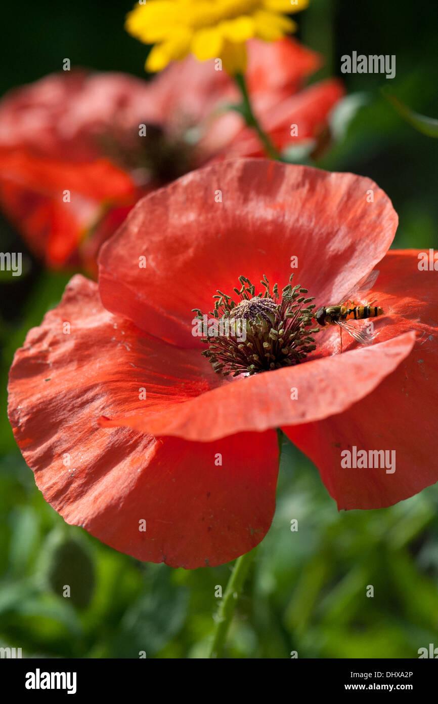 A poppy flowering in a Devon UK wild flower meadow. - Stock Image