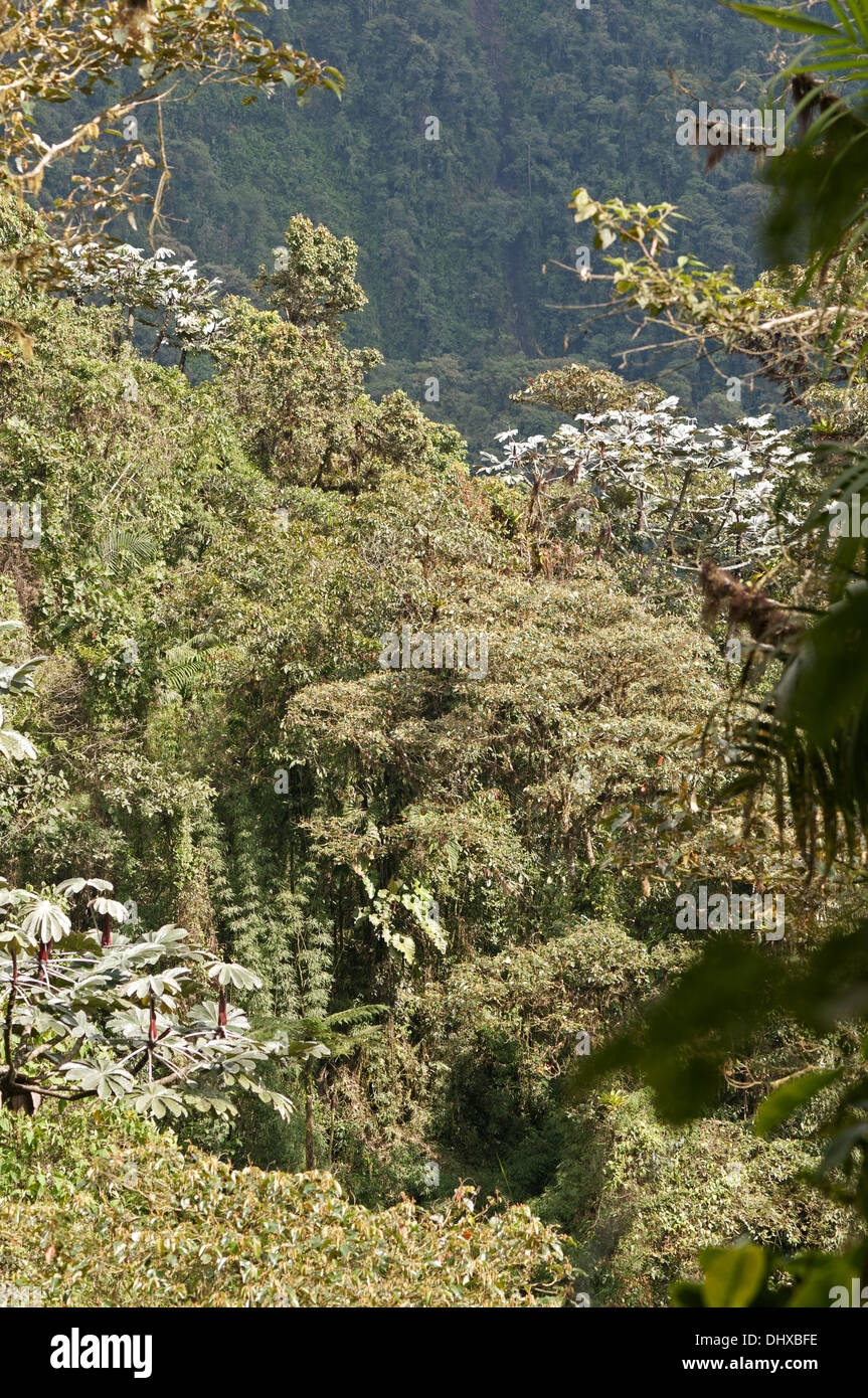 Typical flora of the Andean cloud forest - Stock Image