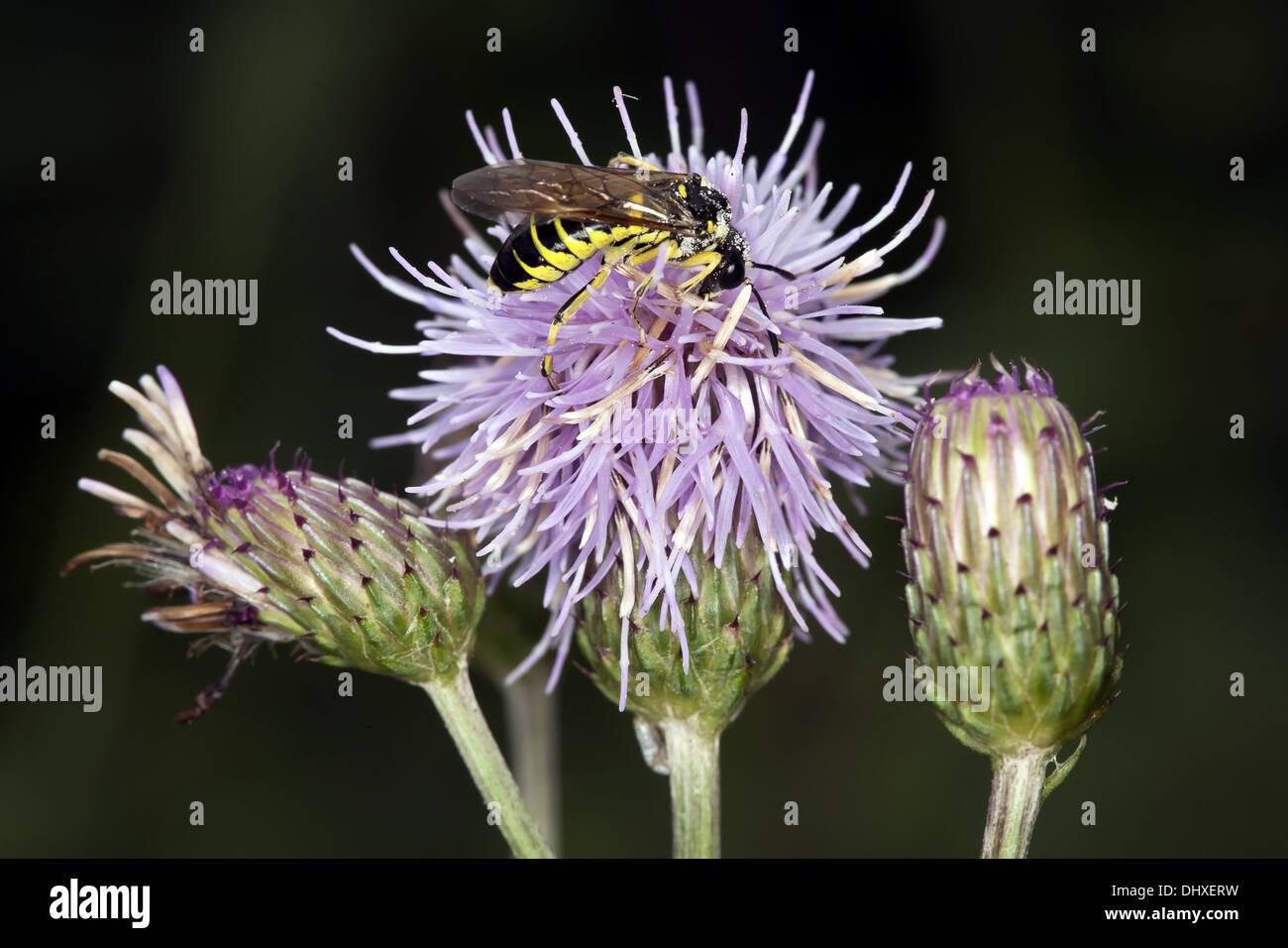 Common Sawfly, Tenthredo nothaStock Photo