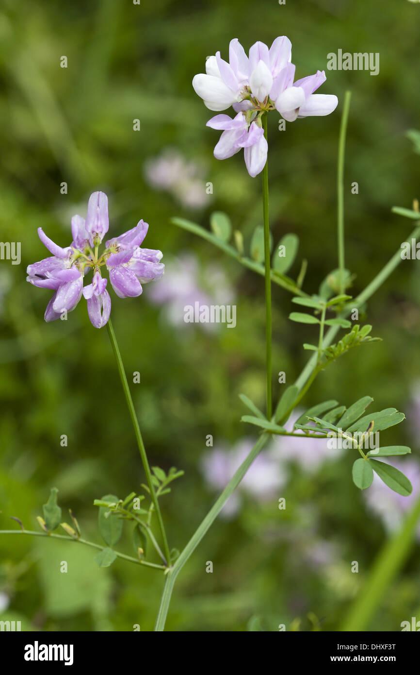 Purple crown vetch coronilla varia stock photo 62662876 alamy purple crown vetch coronilla varia izmirmasajfo