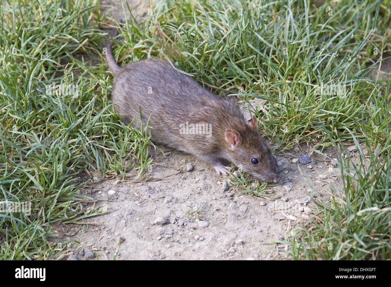 Brown Norway rat - Stock Image