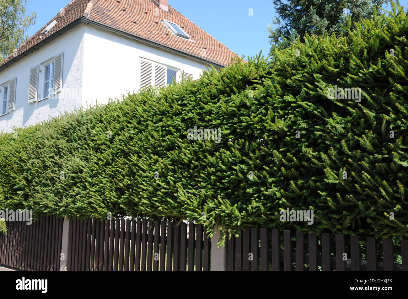 Spruce-Hedge - Stock Image