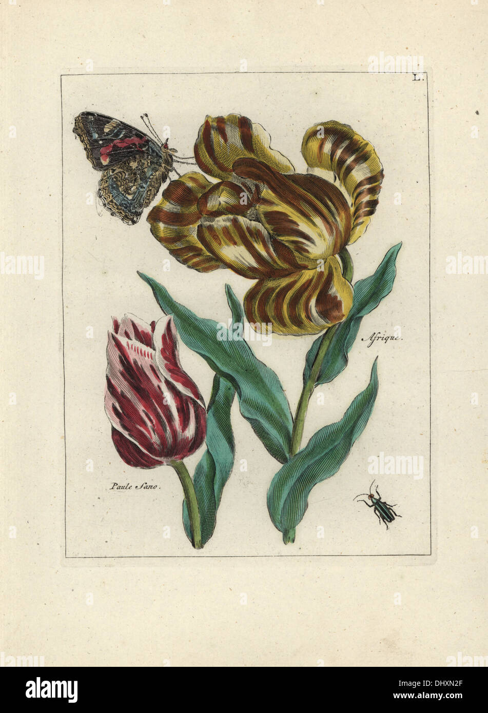 Tulip varieties, Paule Sano and Afrique, Tulipa gesneriana, with butterfly and beetle. - Stock Image