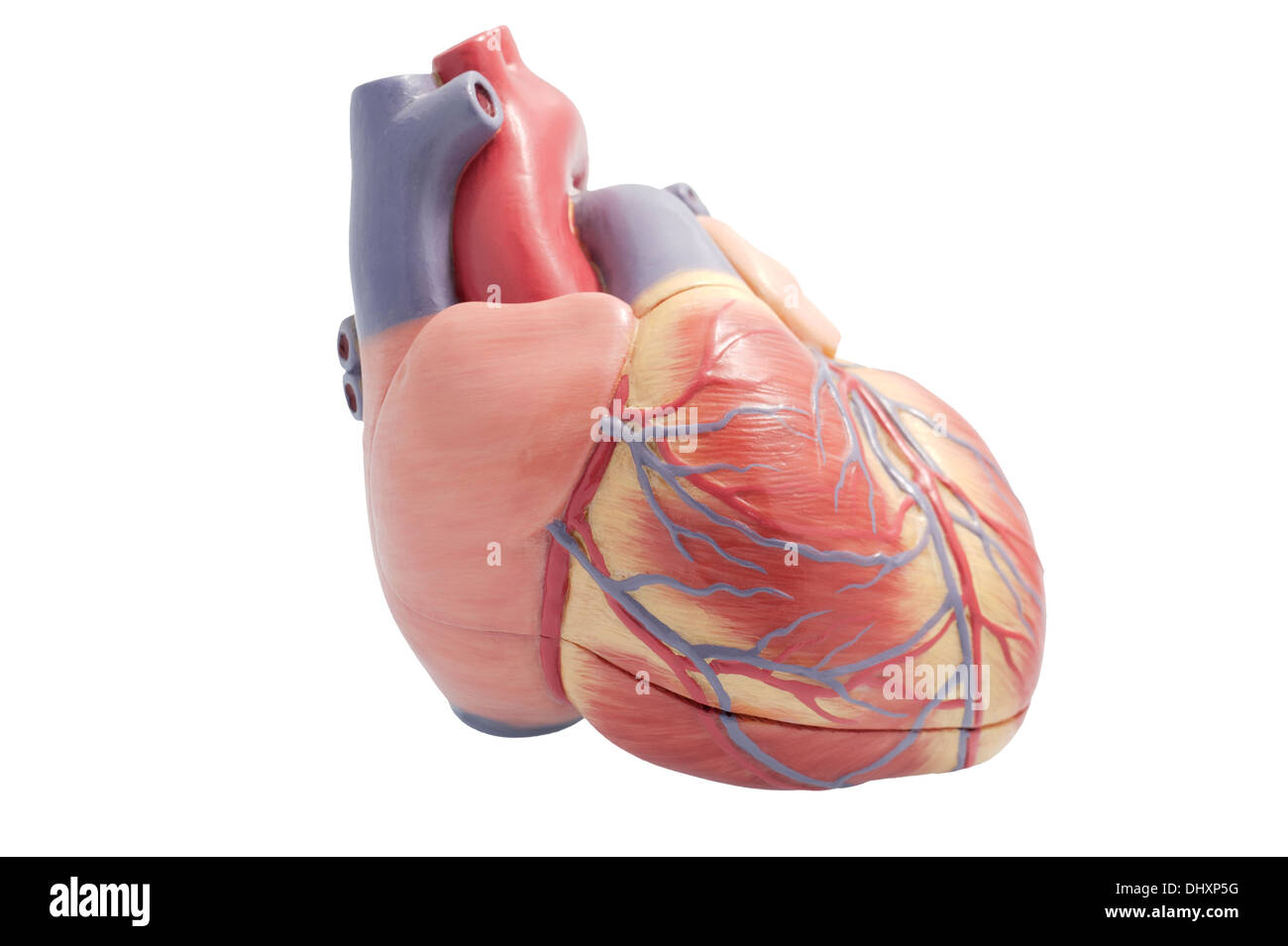 Artificial model of a human heart  Right ventricle towards