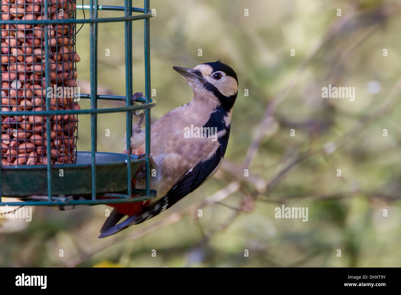 Great Spotted Woodpecker. Dendrocopos major (Picidae) - Stock Image