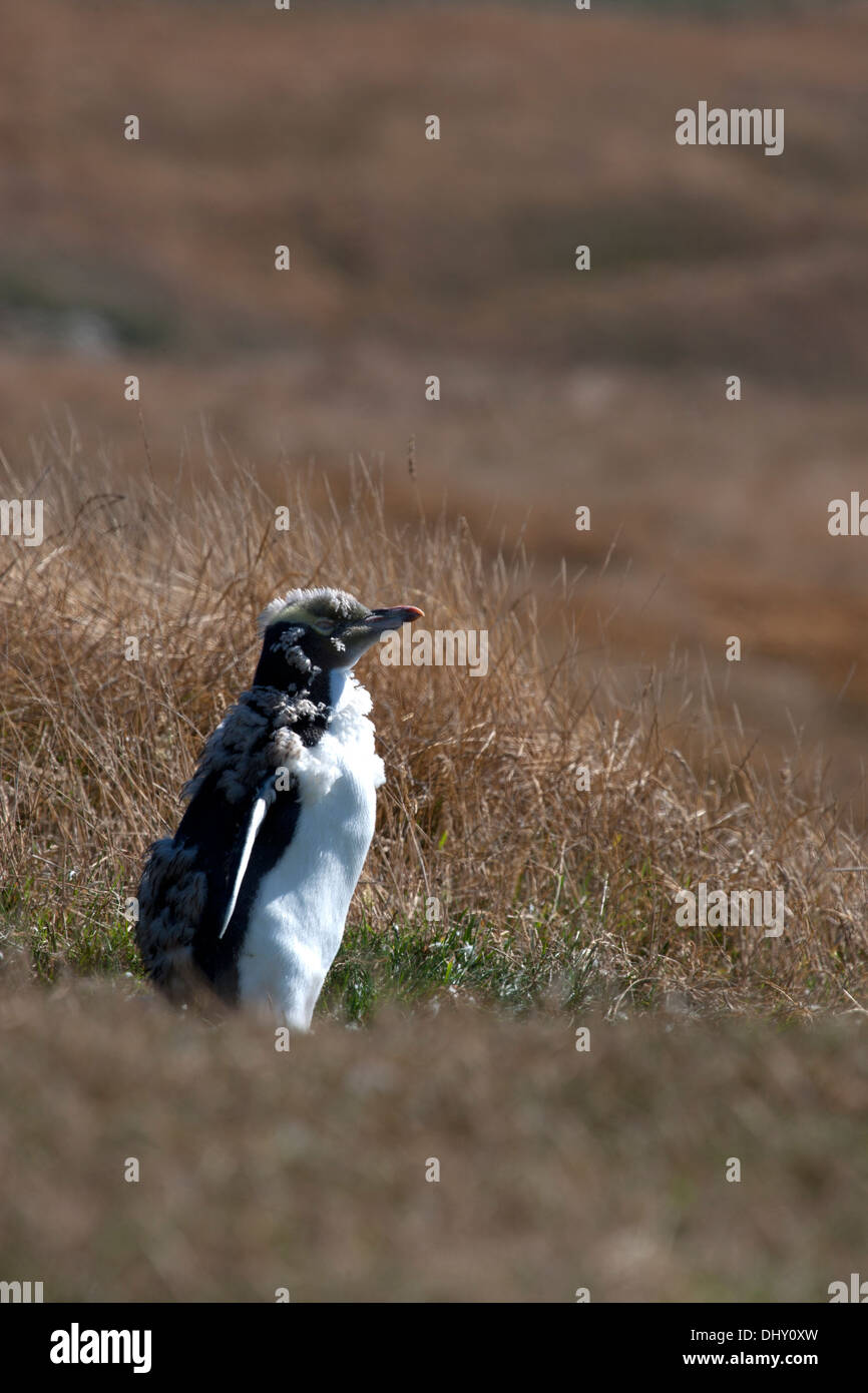 A Yellow-eyed Penguin moulting - Stock Image
