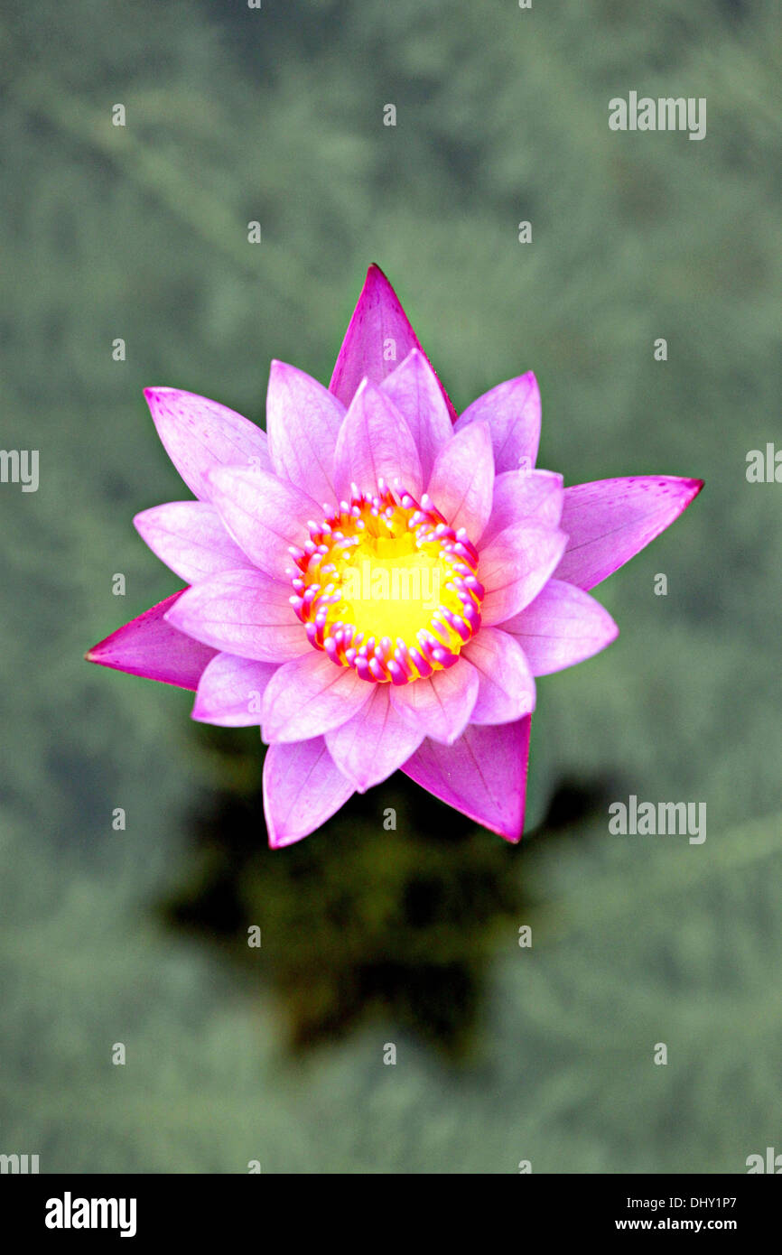 Focus The Flower Is Violet Lotus In The Pool Stock Photo 62674367