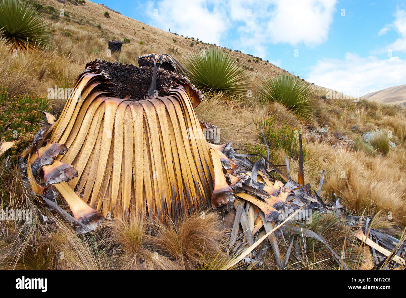 Burnt Puya Raimondii Plants high up in the Peruvian Andes, South America. - Stock Image