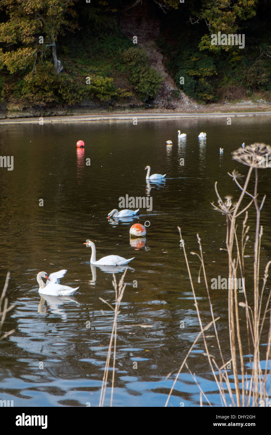 A very regal procession of swans. River Avon, South Hams. Devon. UK - Stock Image