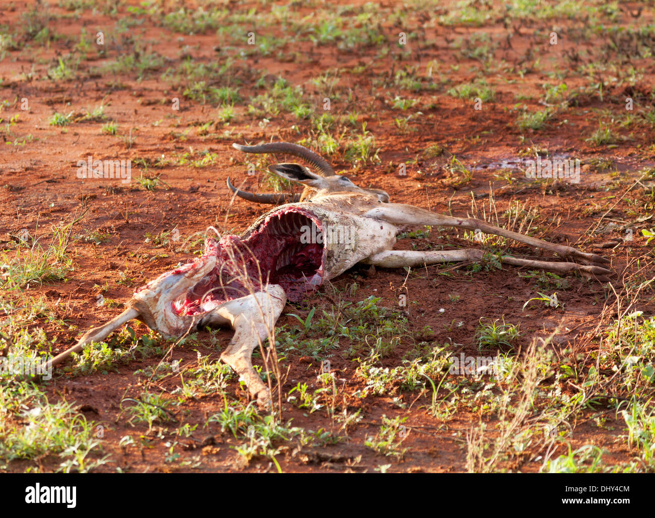 Killed antelope, Samburu National Reserve, Kenya - Stock Image