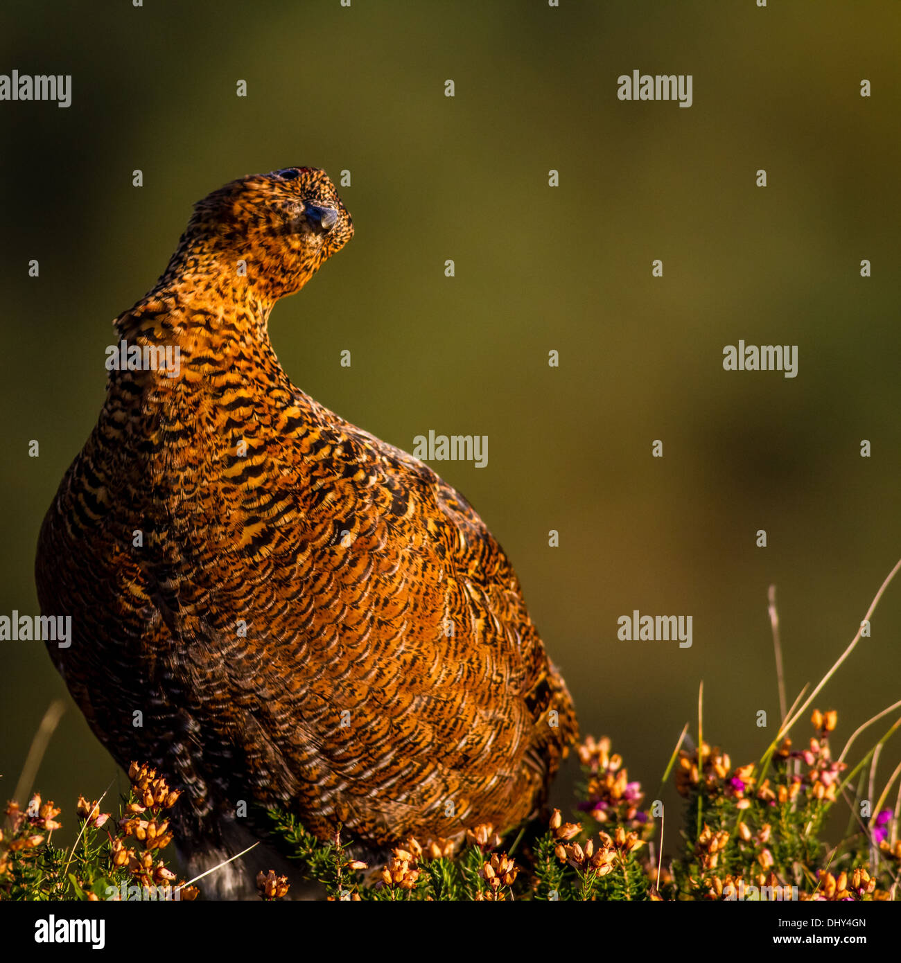 Red grouse (lagopus lagopus) with a quizzical look - Stock Image