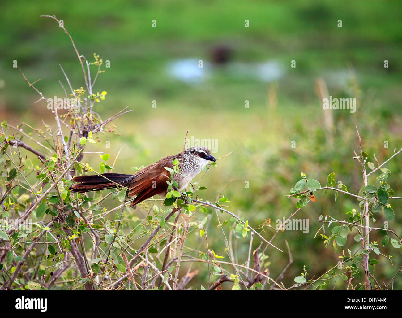 White-browed Coucal in bush (Centropus superciliosus), Amboseli National Park, Kenya - Stock Image