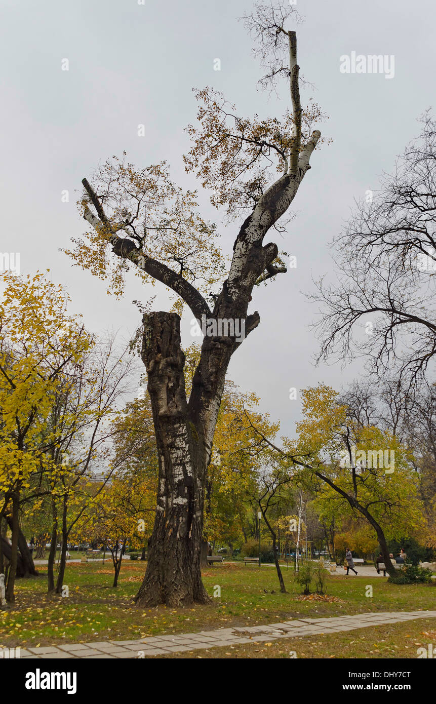 Lop and crop old birch tree in garden - Stock Image