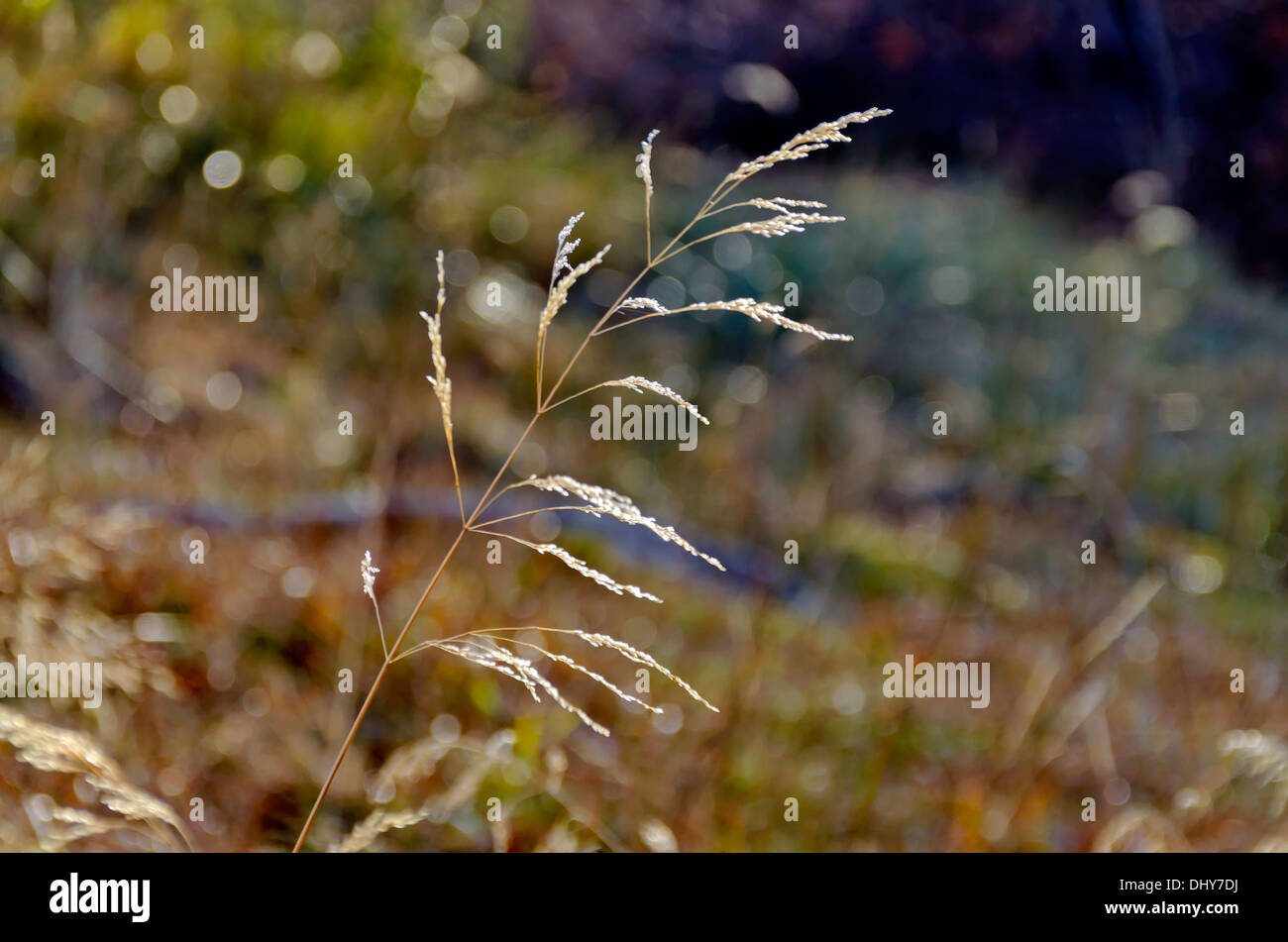 Lighted blade of grass in mountain - Stock Image