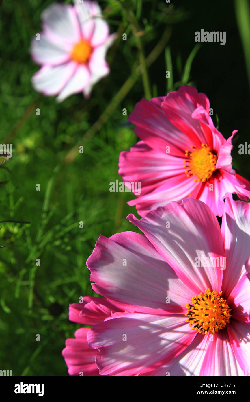 Pink daisy meaning stock photos pink daisy meaning stock images with its bold and striking appearance the gerbera daisy has become the most highly izmirmasajfo