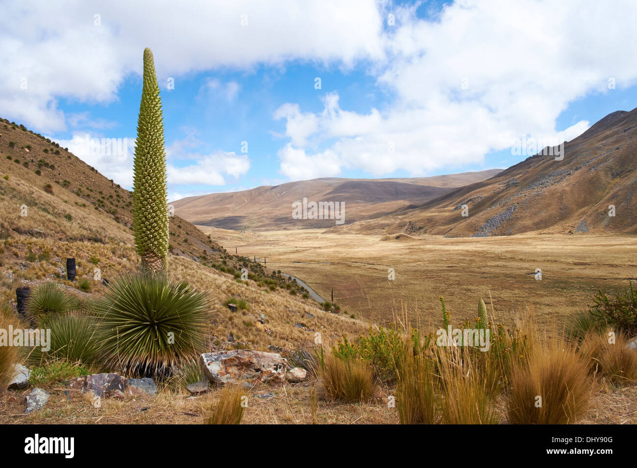 Puya Raimondii Plants high up in the Peruvian Andes, South America. Stock Photo