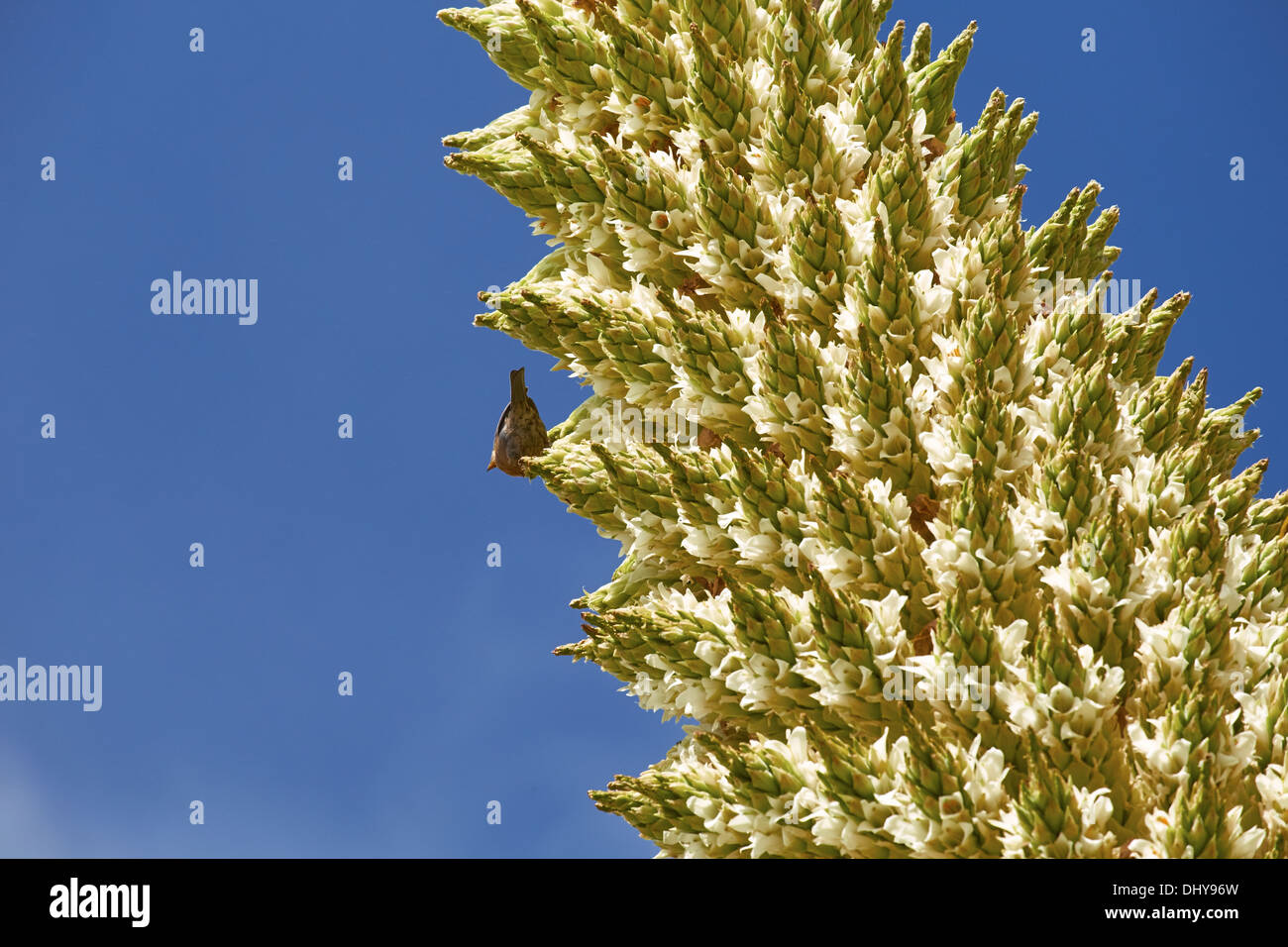A finch feeding on a Puya Raimondii Plants high up in the Peruvian Andes. Stock Photo