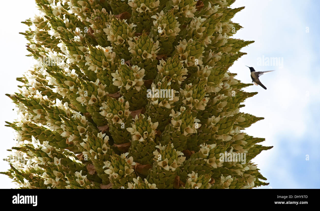 Humming bird feeding on a Puya Raimondii Plants high up in the Peruvian Andes. - Stock Image