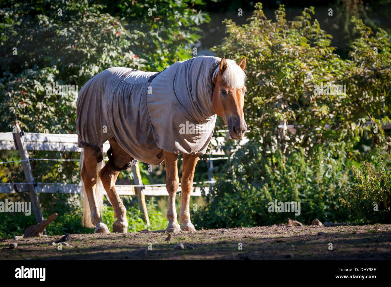 Horse clad in the warp and standing behind a fence - Stock Image