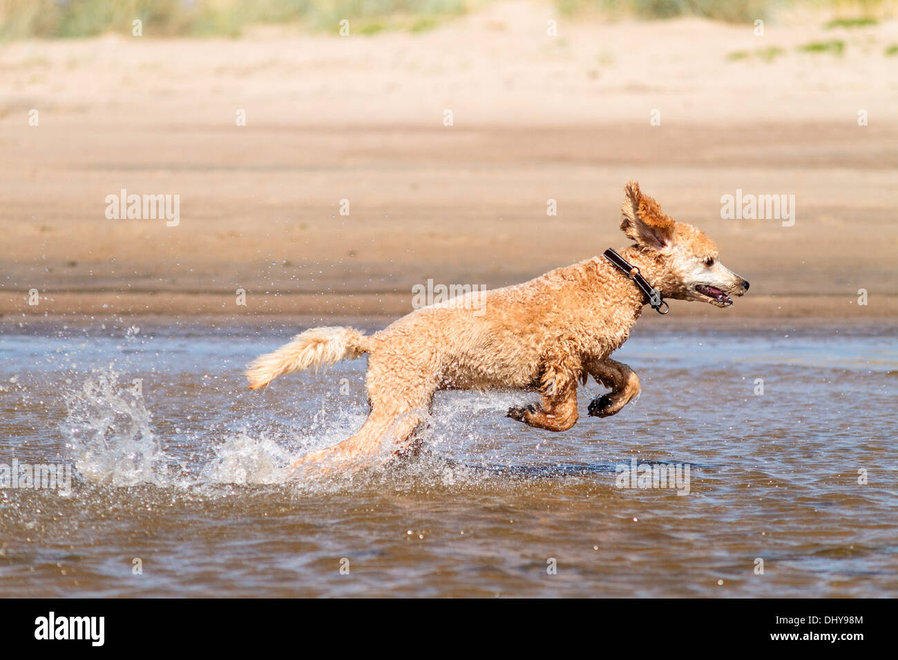 A poodle running on the sea and water splashing - Stock Image
