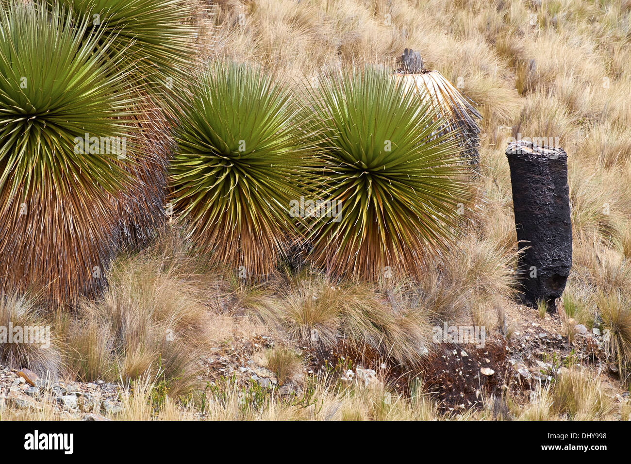 Burnt Puya Raimondii Plants high up in the Peruvian Andes, South America. Stock Photo