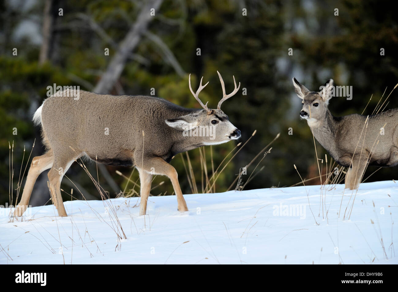 A mule deer buck interacting with a female - Stock Image