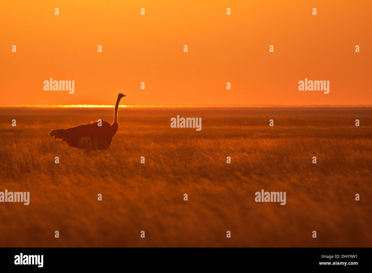 Ostrich at sunset - Stock Image