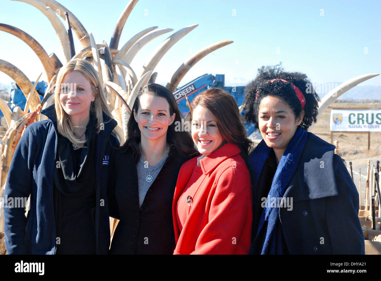 Celebrities Kristin Bauer, left, Kristin Davis, Joely Fisher, and Dr. Paula Kahumbu, CEO of WildlifeDirect, pose in front of six tons of confiscated ivory before is is crushed November 14, 2013 in Commerce City, CO. The ivory stockpile collected over the past 25 years through smuggling busts and border confiscations was fed through a stone crusher and destroyed to discourage poaching. - Stock Image