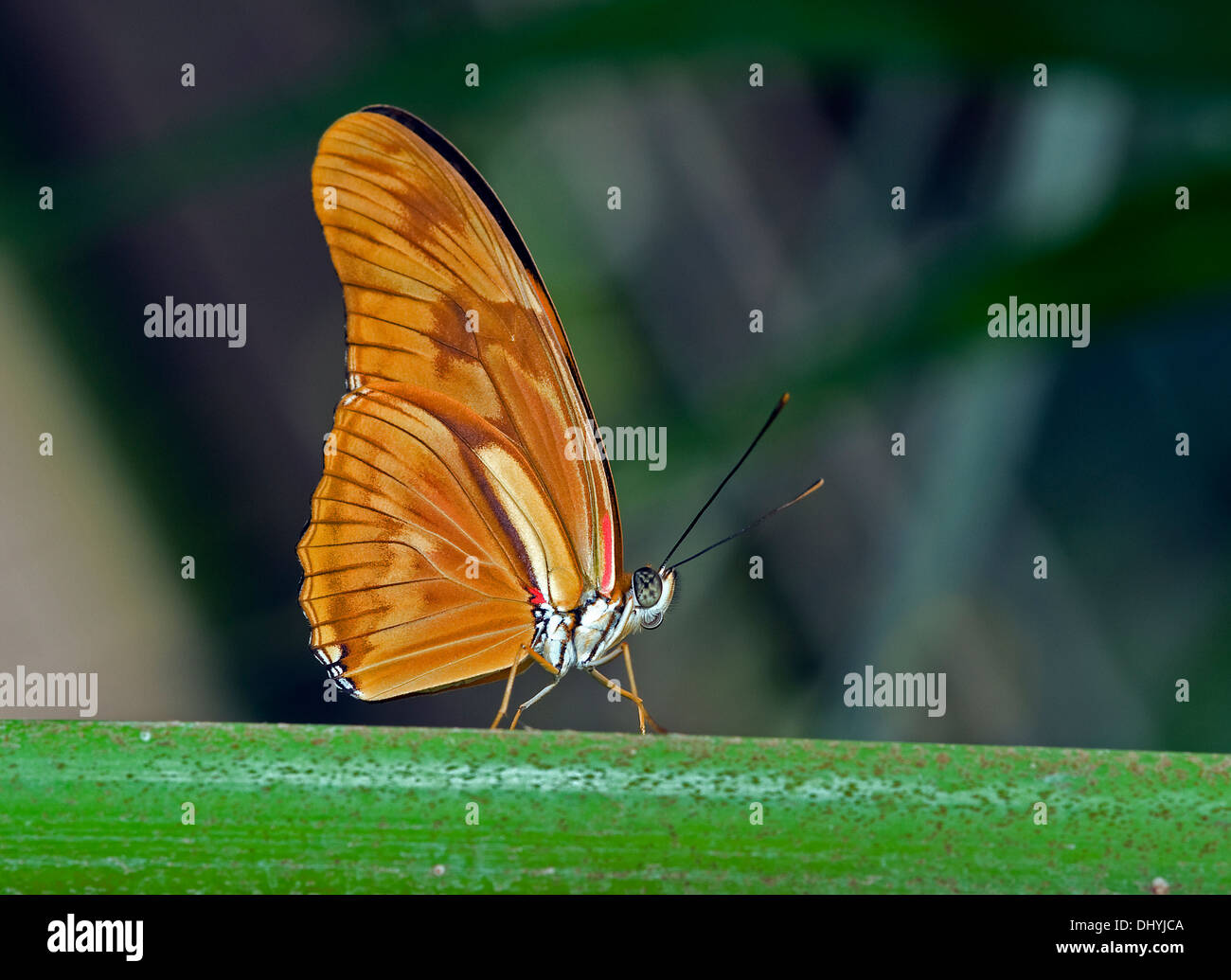 beautiful butterfly in the butterfly garden in Goes, Holland - Stock Image