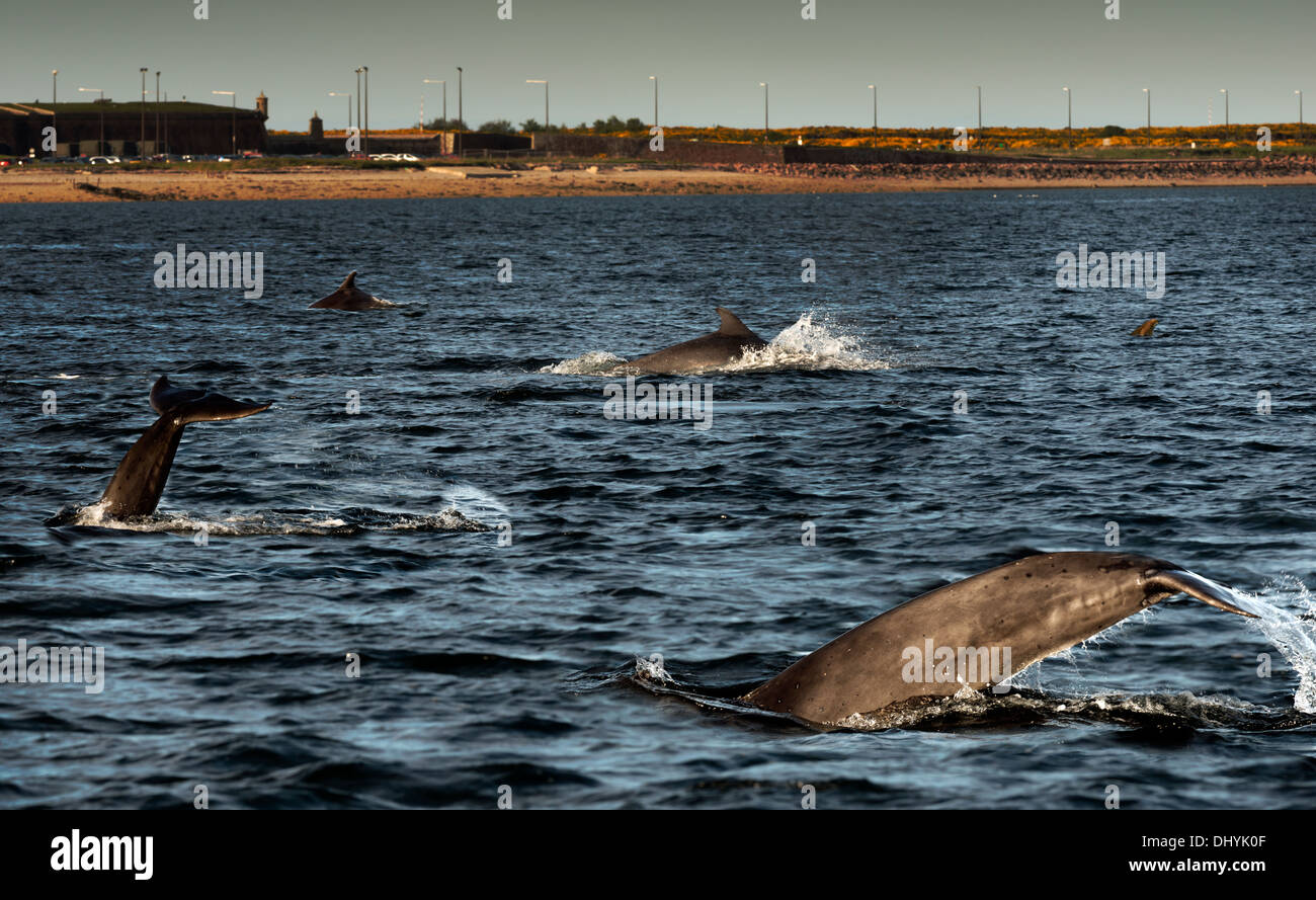 Dolphins surfacing Chanonry Point, Fortrose, Scotland. - Stock Image