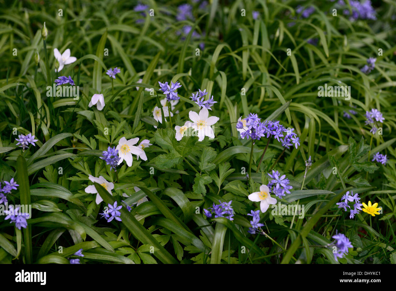 Anemone Nemorosa White Flowers Shade Stock Photos Anemone Nemorosa