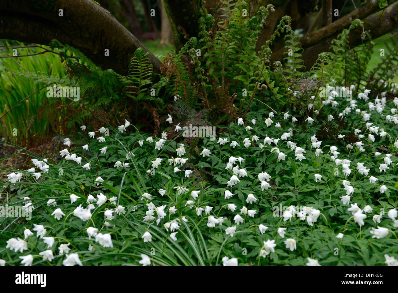 Fiori Bianchi Bosco.Anemone Nemorosa White Flowers Perennial Stock Photos Anemone