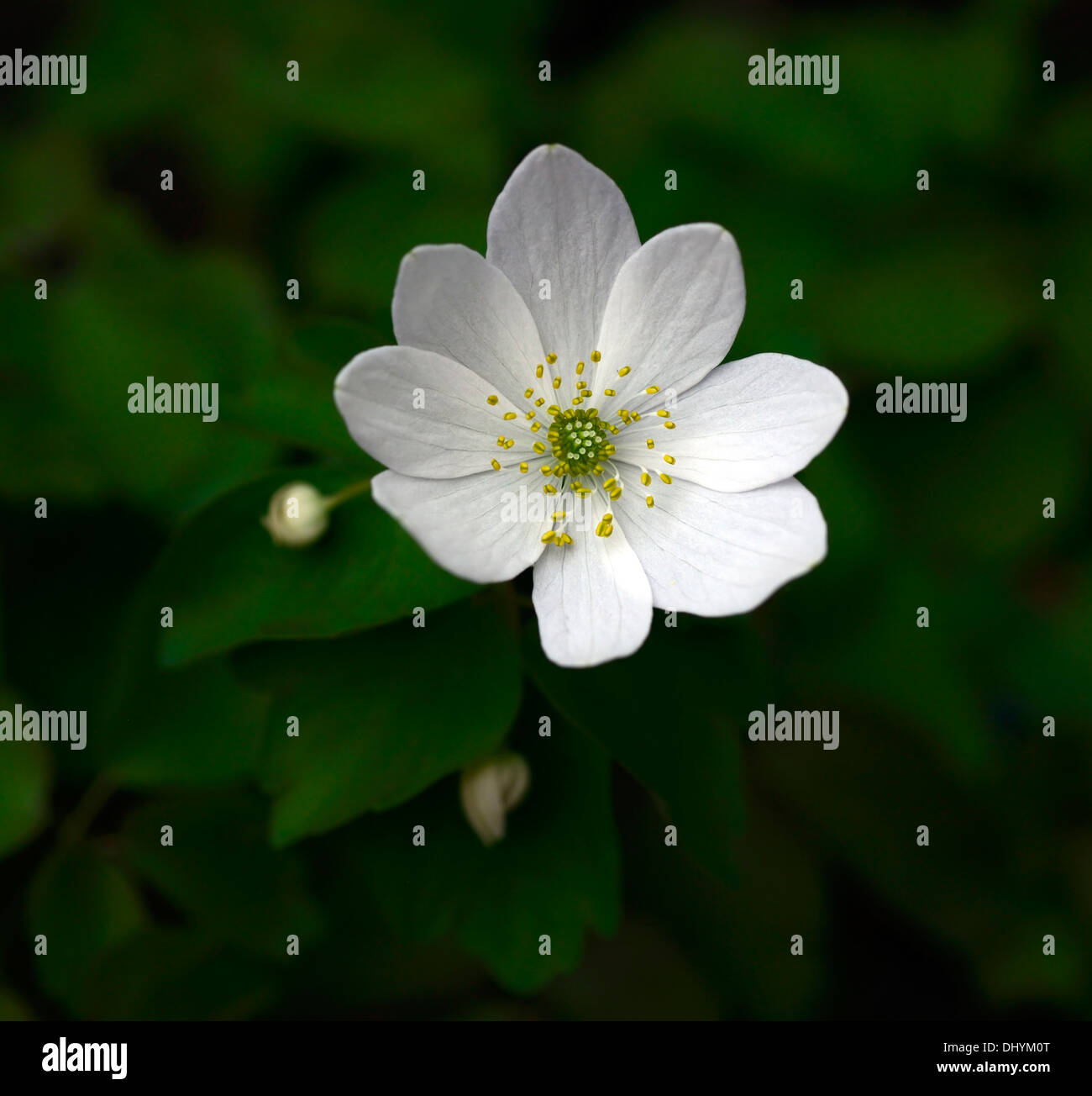 Anemonella Thalictroides Amelia White Flowers Perennial Shade Shaded