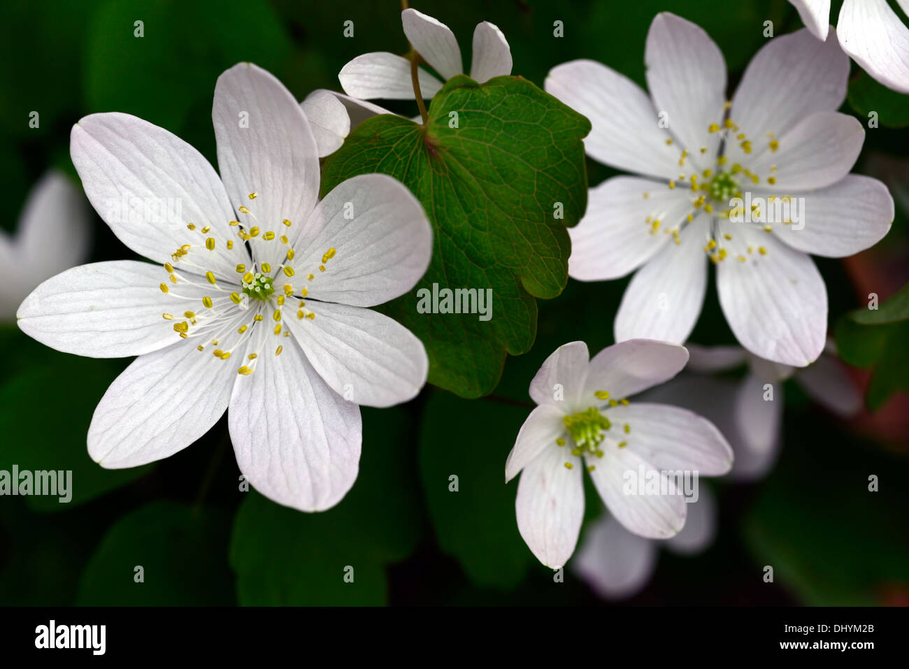 anemonella thalictroides amelia white flowers perennial shade shaded ...