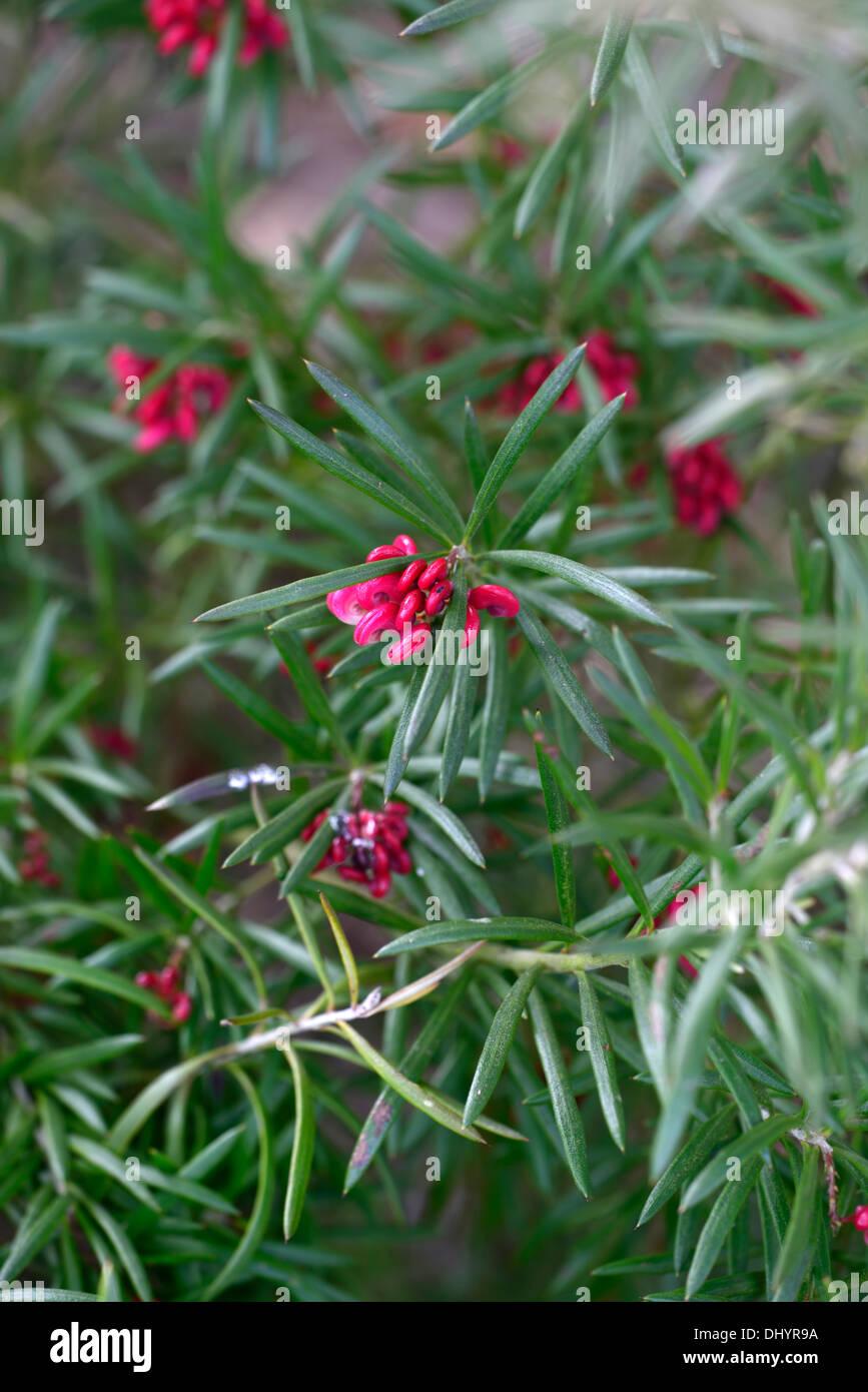 flowering grevillea stock photos  u0026 flowering grevillea stock images