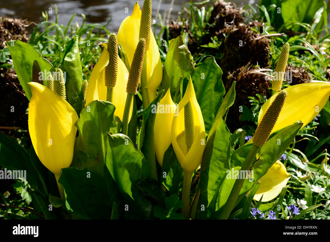Lysichiton americanus yellow skunk cabbage flowers flowering bloom blooming spring perennials bog water aquatic plants Stock Photo