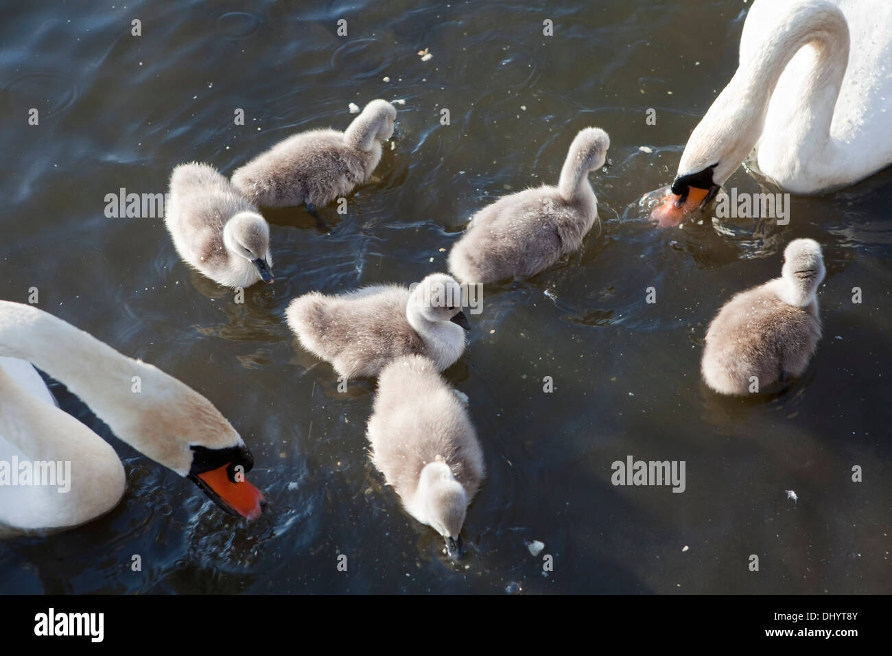 Mute Swans, Cygnus olor, adults swimming with cygnets, Steinhuder Meer Nature Park, Lower Saxony, Germany, Europe Stock Photo