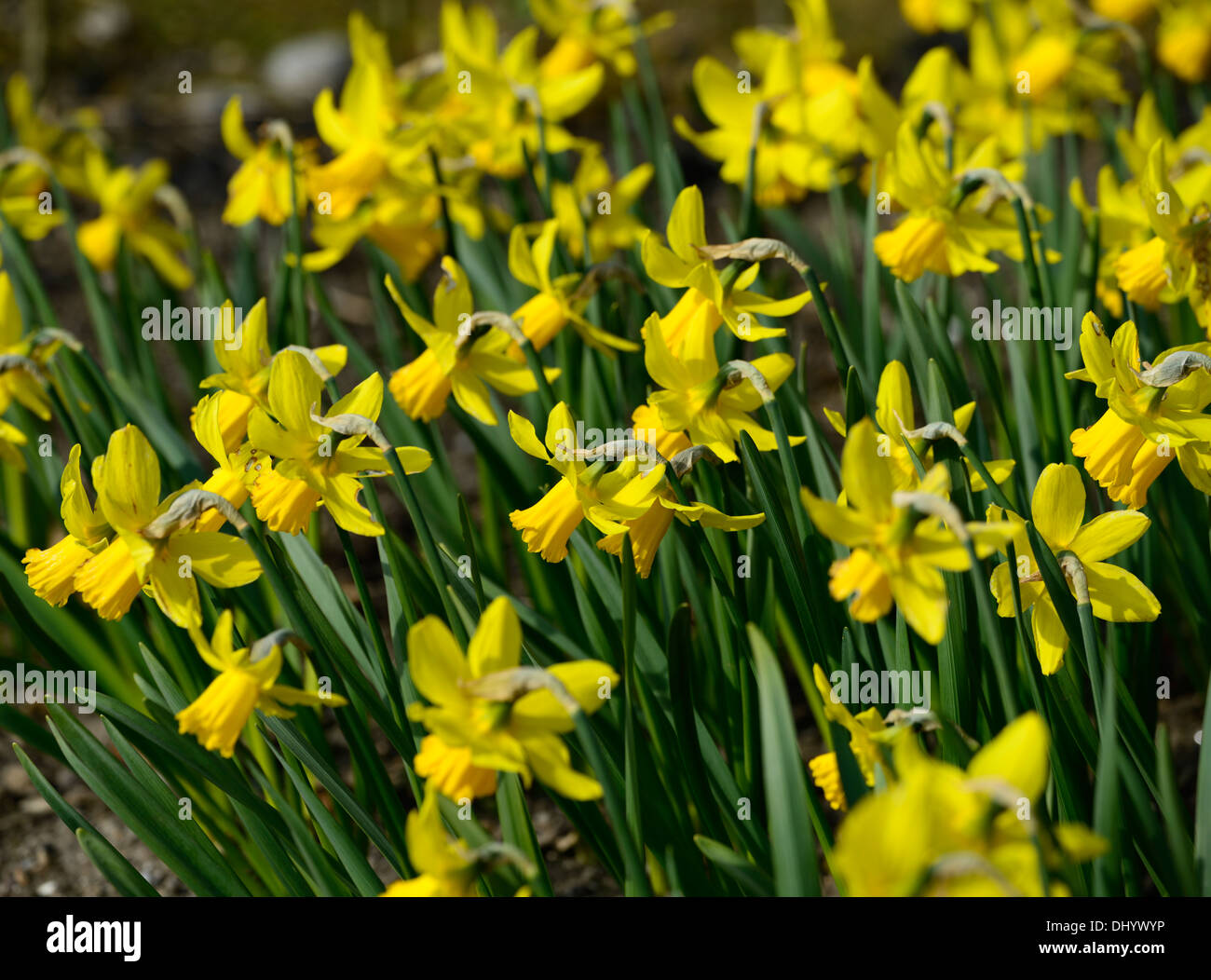 narcissus february gold dwarf cyclamineus Div 6 early hybrid yellow flower bloom blossom spring - Stock Image