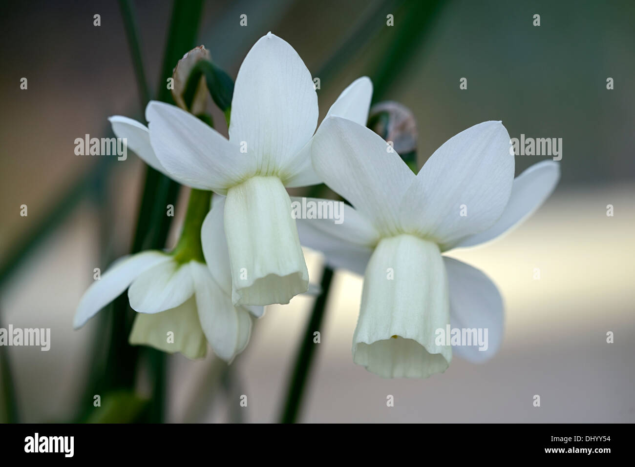 Narcissus ice wings triandrus daffodil angels tears white flower narcissus ice wings triandrus daffodil angels tears white flower flowers narcissi daffodils bulbs spring flowering blooms mightylinksfo