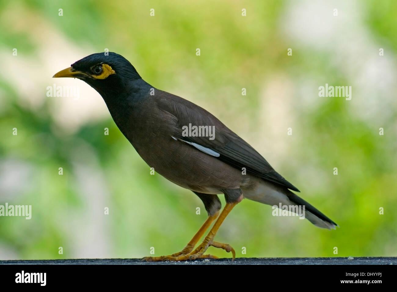 Mynah Bird Asia species Acridotheres tristis - Stock Image