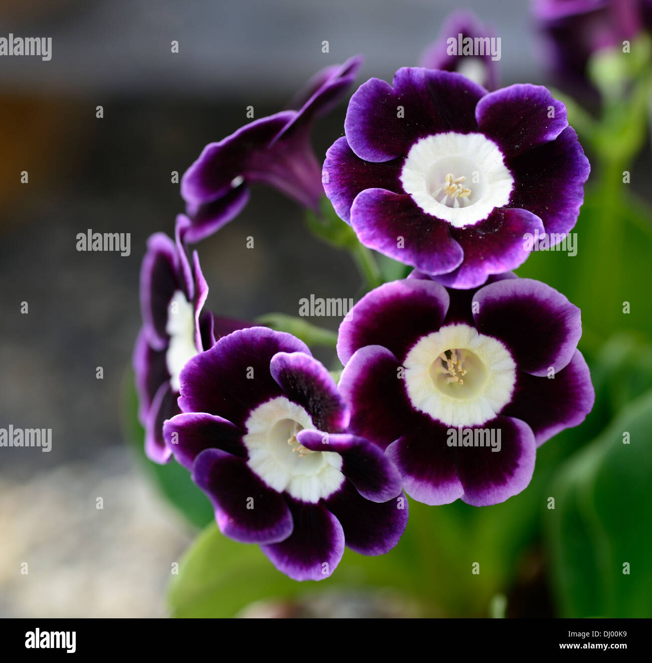 Primula auricula joyce blue purple flowers white eye primrose stock primula auricula joyce blue purple flowers white eye primrose mightylinksfo