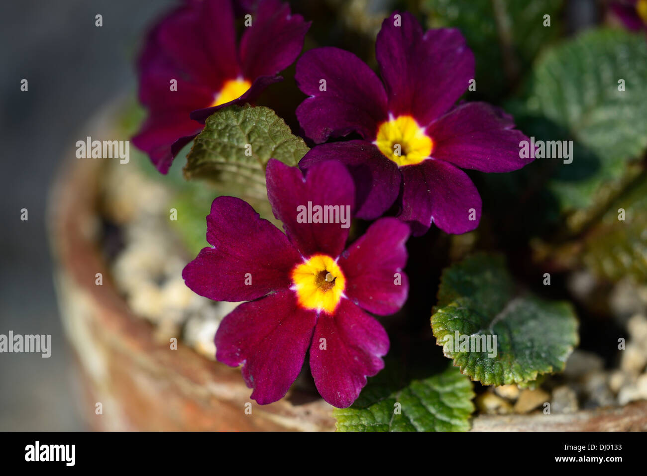primula julius caesar closeups close ups purple flowers flowering blooms blossoms yellow eye - Stock Image