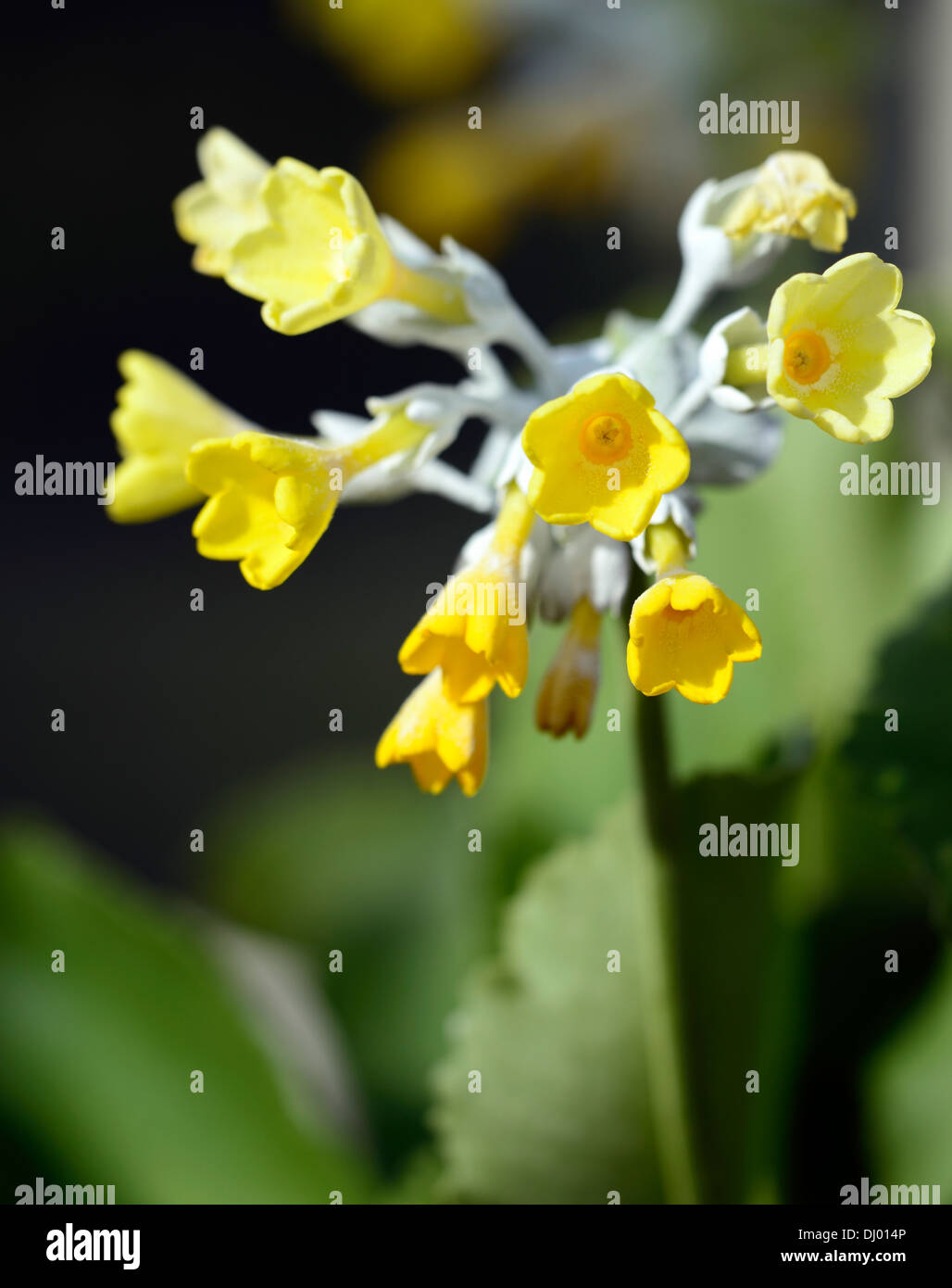 Funnel Shaped Fragrant Yellow Flowers Stock Photos Funnel Shaped