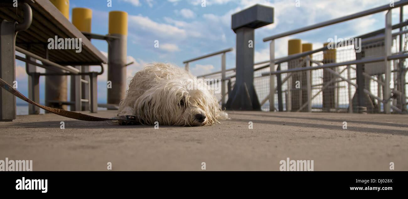 Hund liegt angeleint auf dem Boden eines Bootsanlegers und sieht sehr unzufrieden aus. - Stock Image