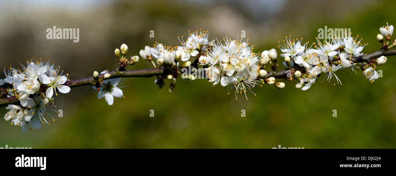 Prunus spinosa blackthorn blossom white flowers spring deciduous prunus spinosa blackthorn blossom white flowers spring deciduous tree fowering blossom mightylinksfo