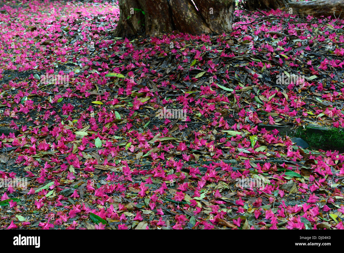 rhododendron arboreum subsp delavayi tree lined avenue path red flowers flowering kilmacurragh botanic garden wicklow - Stock Image