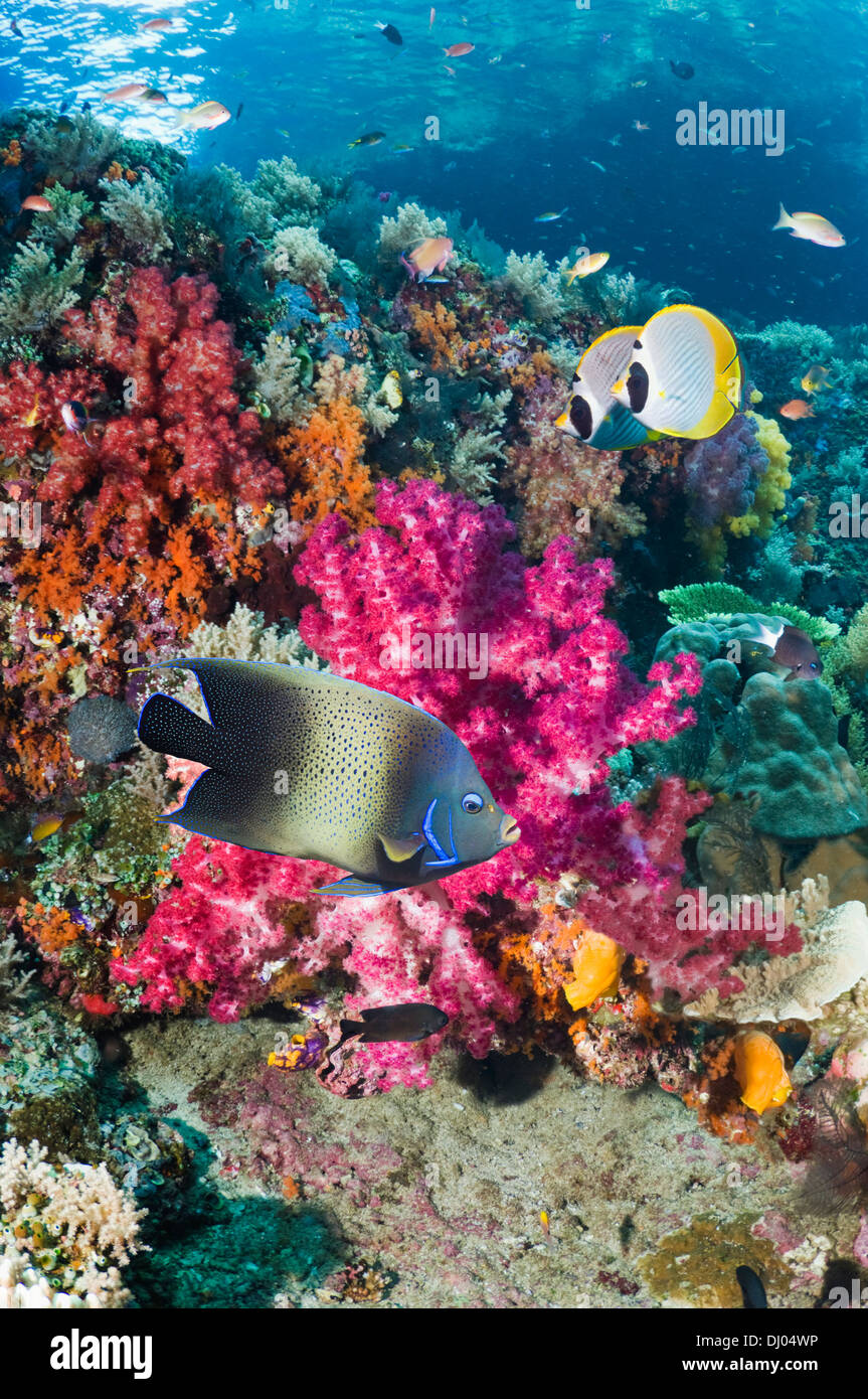 Coral reef with a Semicircle angelfish and a pair of Panda butterflyfish - Stock Image