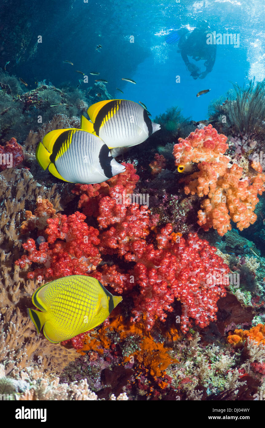 Coral reef with Lined butterflyfish and a Latticed butterflyfish and a diver with a camera in background - Stock Image