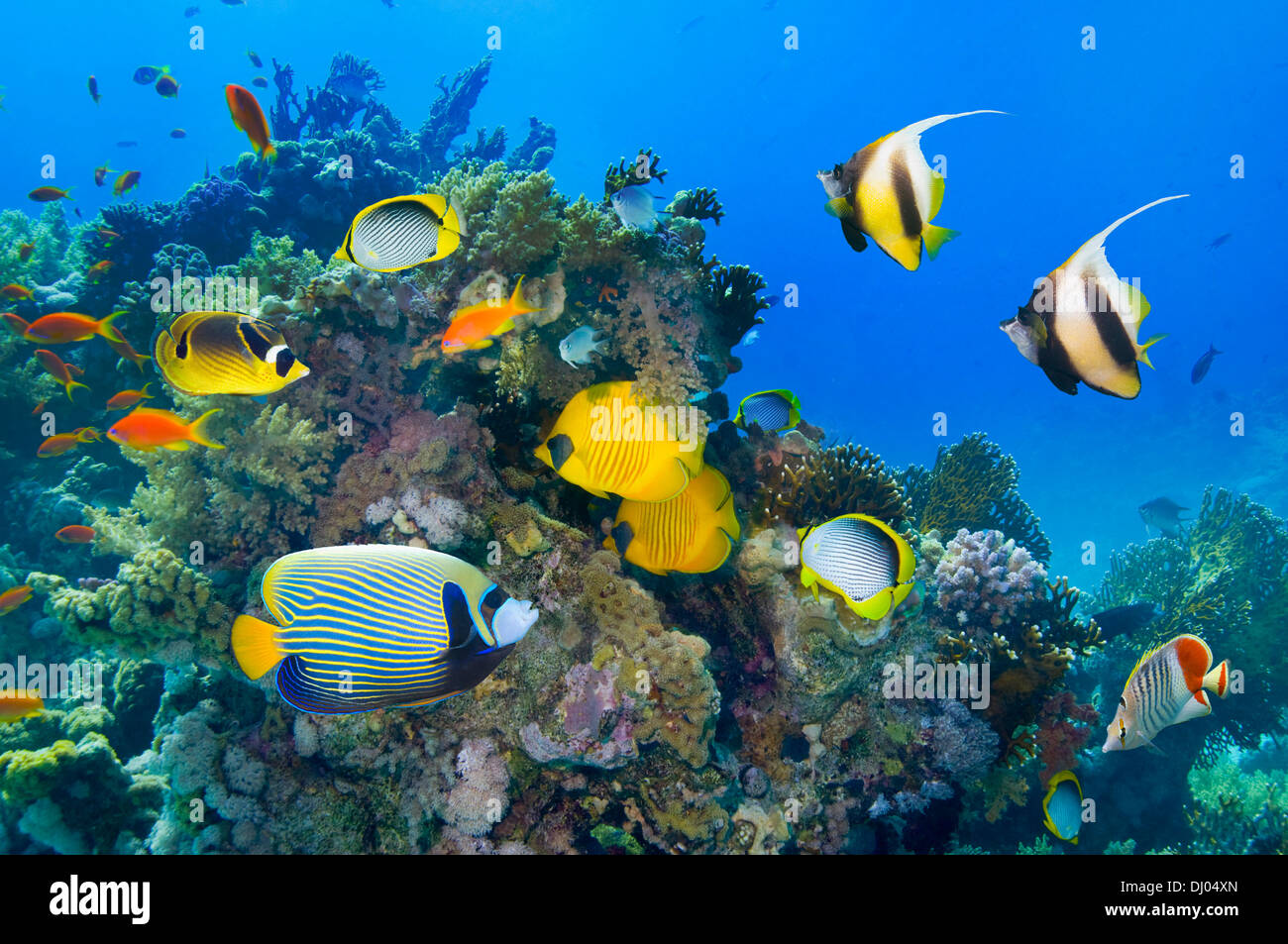Coral reef scenery with Golden butterflyfish and Red Sea bannerfish - Stock Image