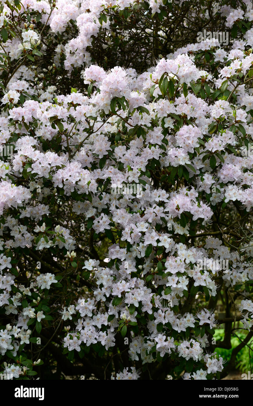 Rhododendron rigidum spring pink flowers flowering evergreens shrubs rhododendron rigidum spring pink flowers flowering evergreens shrubs flowers petals plant portraits pale pastel mightylinksfo